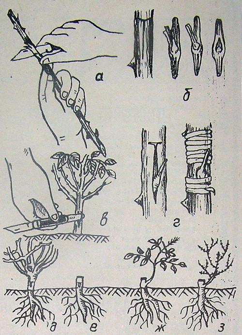 Выращивание розы плетистой в открытом грунте 52