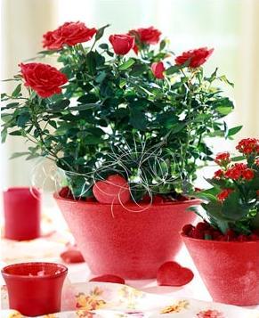 Китайская роза удобрения